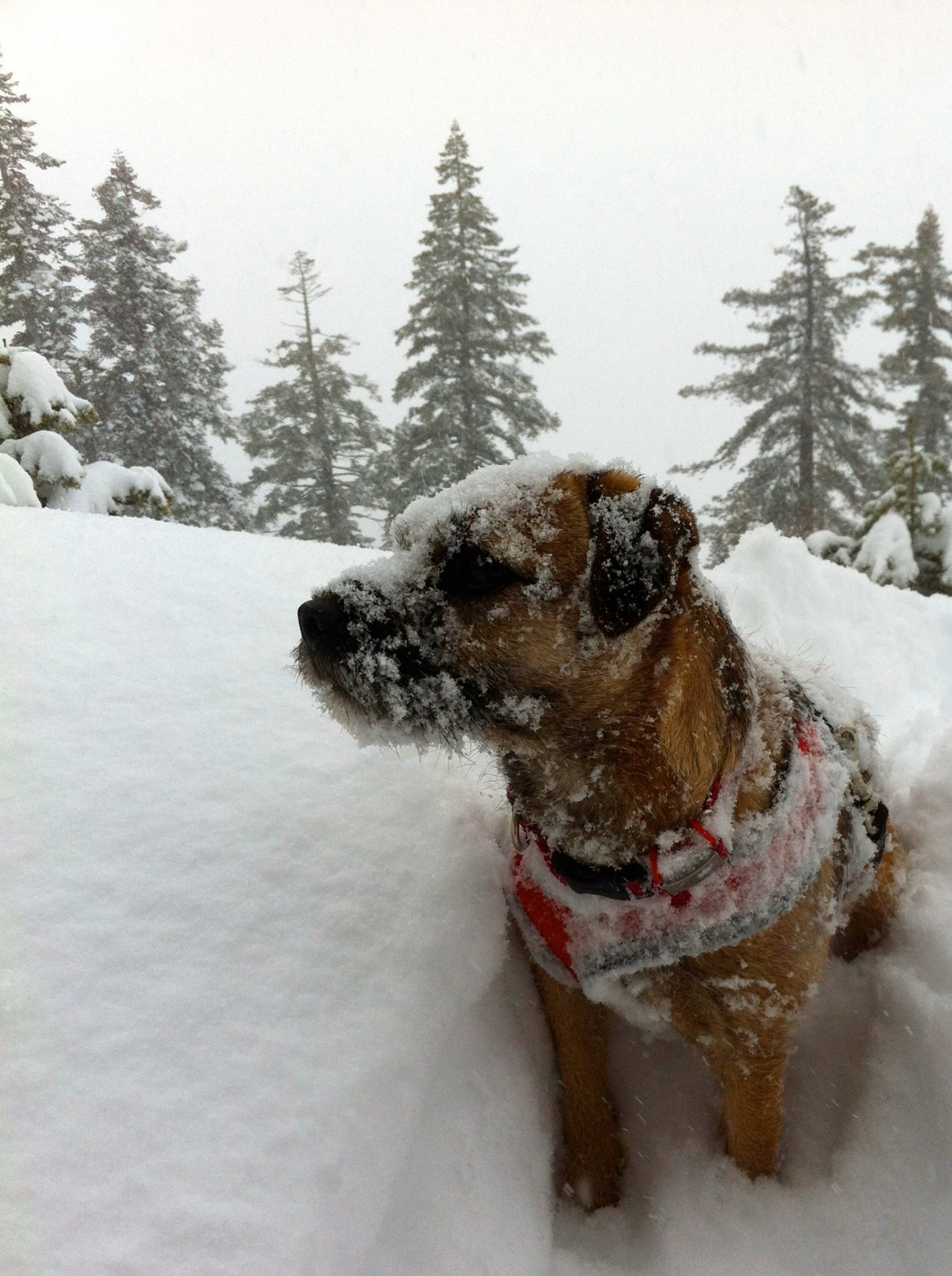 Border Terrier, ready any time for anything: Maximizes Sleep Opportunities